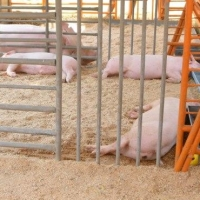Виктор Назаров поручил взять на учет всех свиней в Омской области