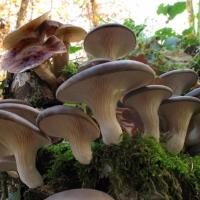 Омские грибоводы заменят санкционные шампиньоны сибирской вешенкой