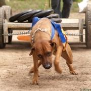 В Омске пройдут состязания собак-силачей