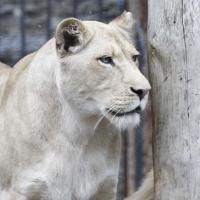 Омич держит дома пару львов
