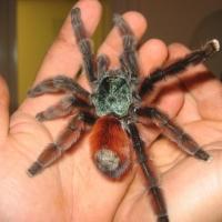 Омичей приглашают познакомиться с самыми большими пауками в мире