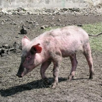 В Омской области из-за АЧС уничтожили более 10 тысяч свиней