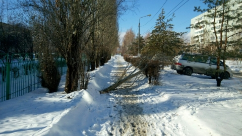 У гимназии, где голосовала мэр Омска, упало дерево