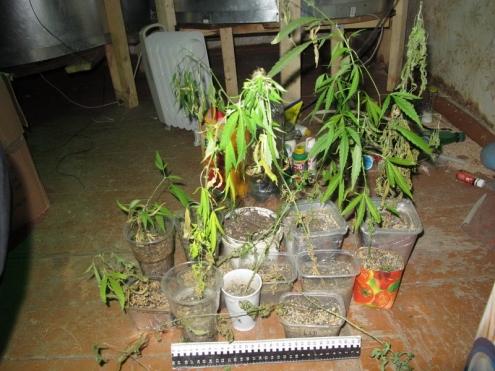 Омичи соорудили в частном доме плантацию конопли