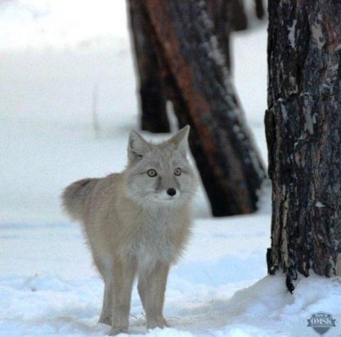 В центре Омска обосновалась краснокнижная лиса