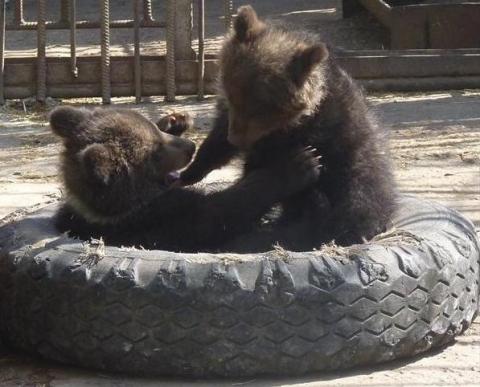 Омичи придумают имена для двух медвежат