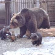 Омичи сфотографируют медведя, пока он спит, и полюбят его