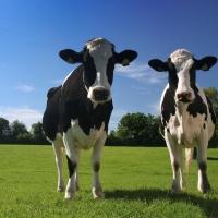 Омским фермерам разрешили забивать скот дома