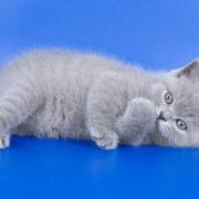 Где купить редкие породы кошек