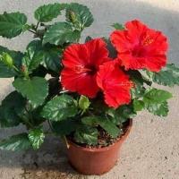 Цветок Гибискус (Китайская роза) Приметы и предостережения