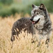 В Омской области могут разрешить охоту на волков
