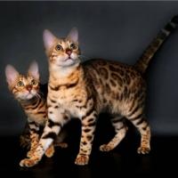 Приобретение бенгальской кошки: питомник или же «с рук»?