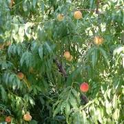 Омич вырастил «дерево жизни» сибирские персики уже набрали цвет