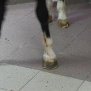 В Омске ввели коня в Атриум