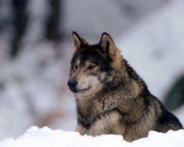 Омичи встревожены слухами о нашествии волков из Казахстана