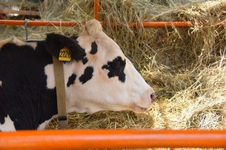 При сокращении коров в Омской области выросла продуктивность