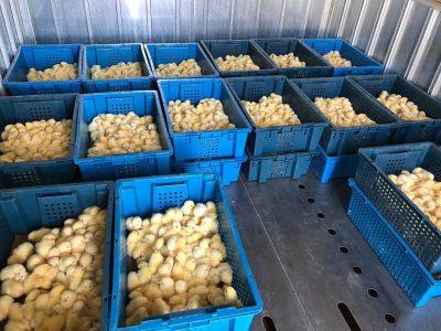 700 тысяч цыплят раздадут малообеспеченным и многодетным омичам