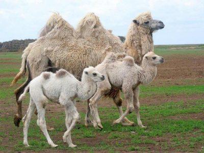 В Омской области верблюд убил пастуха, защищая верблюжат
