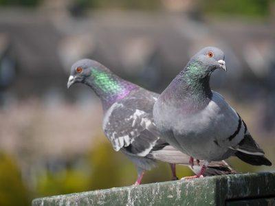 В Омске начали погибать голуби из-за выбросов