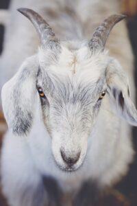 Противораковое молоко начали давать трансгенные козы