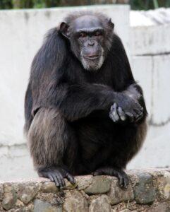 В сердце некоторых шимпанзе растет кость