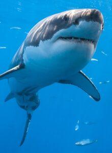 Диетический рацион белых акул стал сюрпризом для биологов