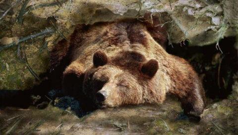 Люди смогли бы впадать в спячку, как медведи или сурки