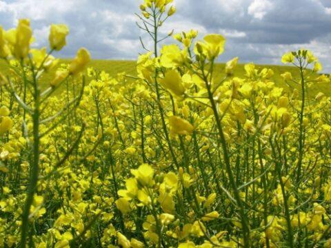 Продажа высокоурожайных семян рапса оптом