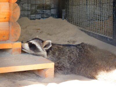 Семейная драма: енота Тошу в Большереченском зоопарке отселили от жены и детей