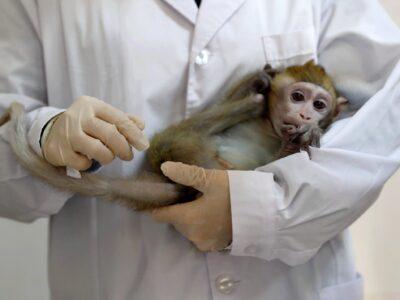У обезьян, инфицированных коронавирусом, развился краткосрочный иммунитет