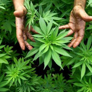 Ученые определили штамм марихуаны,  который разрушает раковые клетки