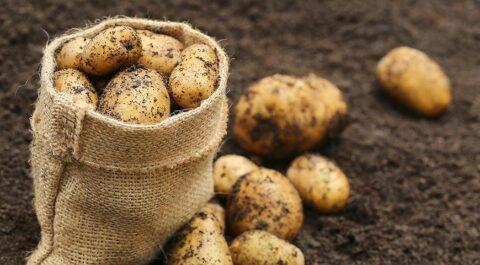 Неурожай картофеля зарегистрировали в Омской области