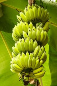 Для производства автомобилей предложили использовать банановые волокна