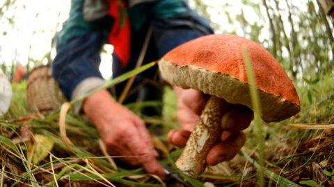 74-летняя жительница Омской области, ушедшая за грибами, до сих пор не найдена