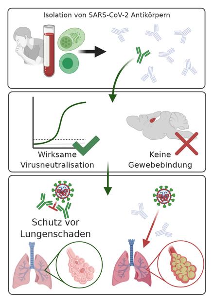 Выявлены высокоэффективные антитела против коронавируса