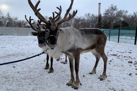 По улицам Омска бегал северный олень