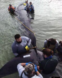 Вымирающий кит, обитающий в Мексиканском заливе, оказался новым видом