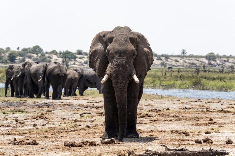 Следы запаха навоза и мочи могут способствовать сохранению слонов