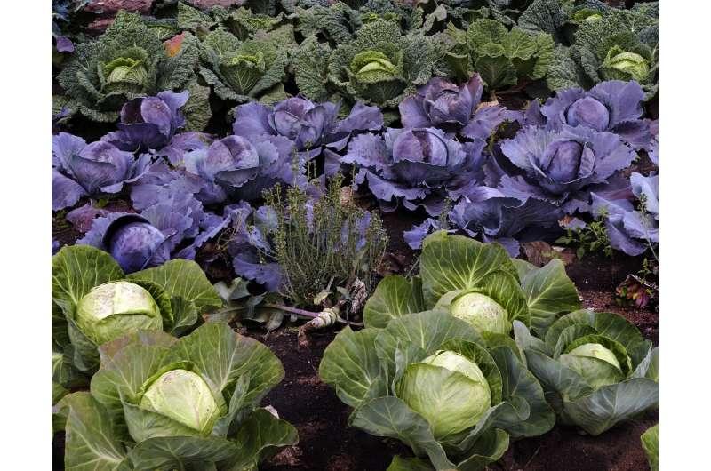Исследование генов капусты дает возможность улучшить урожай