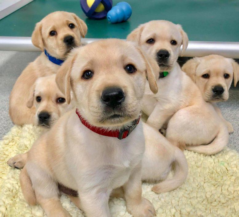 Исследование показало, что щенки биологически запрограммированы на общение с людьми