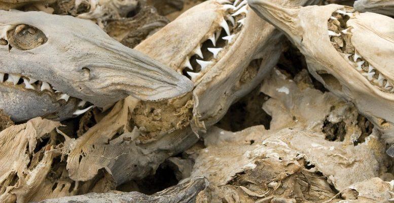 Загадочное событие привело к гибели акул 19 миллионов лет назад