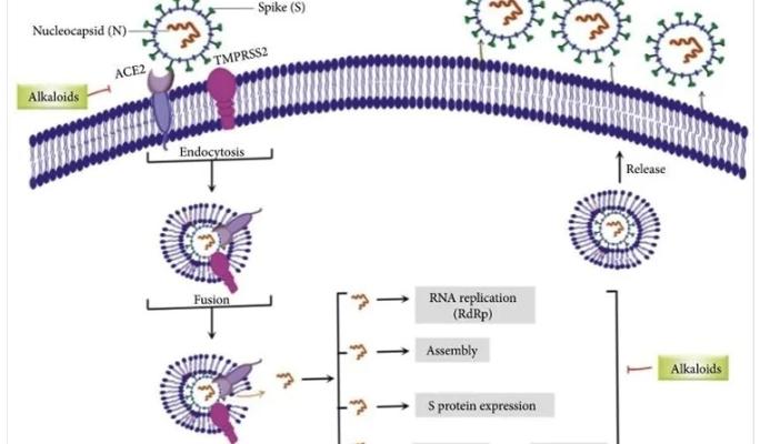 Алкалоиды демонстрируют потенциал для лечения SARS-CoV-2