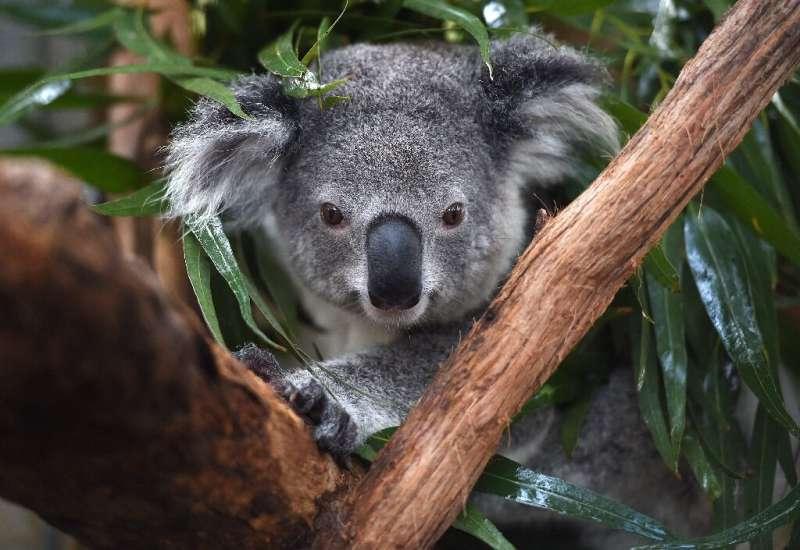 Австралийские исследователи протестируют распознавание «лиц» коалы