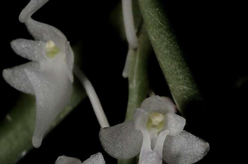 В Индонезии найдены новые виды эпифитных орхидей