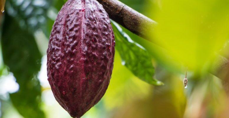 Анализ структурных вариантов генома какао дает ключ к разгадке разнообразия растений