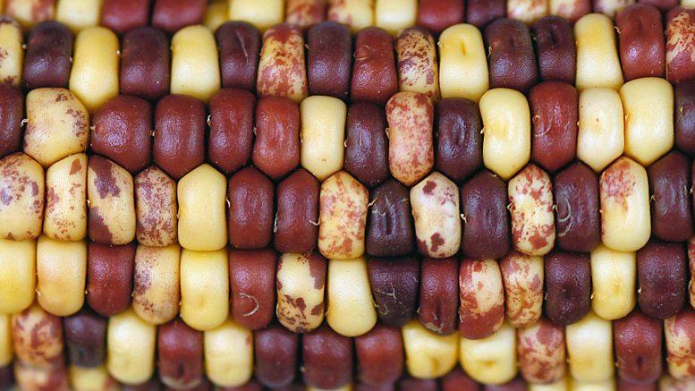 Тайная история кукурузы и ее «прыгающих генов» раскрыта в ее геноме
