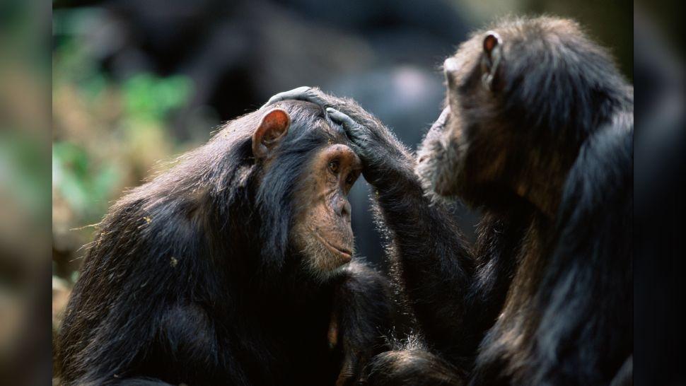 Шимпанзе используют приветствия «привет» и «пока», как и люди