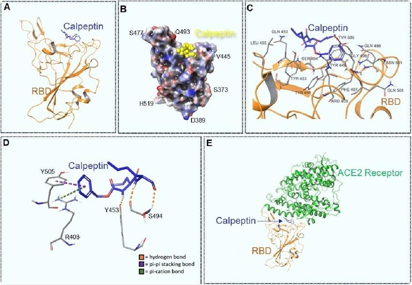 Учёные идентифицируют кальпептин как потенциальный ингибитор SARS-CoV-2
