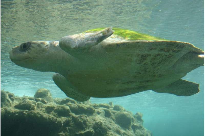 Пластик создает «эволюционную ловушку» для молодых морских черепах